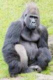 Silverback gorilla. A sitting silver back gorilla looking vigilant Stock Photo