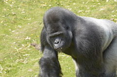 Silverback Gorilla. A silverback gorilla at feeding time in a zoo Stock Photos