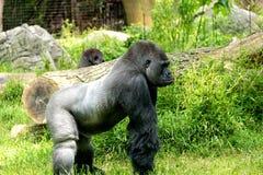 Silverback-Gorilla Stockbilder