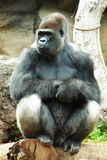 Silverback Gorilla. A Silverback male Gorilla sitting on a log Stock Photos