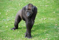 Silverback Gorilla. A Silverback Gorilla in a grass paddock Royalty Free Stock Photography