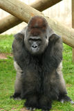 Silverback gorilla. Looking with interested expression Royalty Free Stock Photography