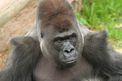 Silverback gorilla. Looking off to side royalty free stock photography