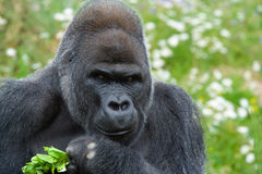 Silverback Gorilla. Large male Silverback Gorilla looking directly at camera with food in hand Royalty Free Stock Images