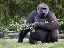 Silverback Gorilla. A silverback gorilla eating leaves off a branch Stock Image