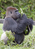 Silverback Gorilla. A silverback gorilla eating leaves off a branch Stock Photo