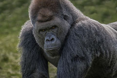 Silverback gorilla Royaltyfri Fotografi
