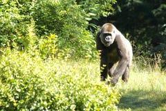 Silverback Gorilla lizenzfreie stockfotografie