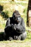Silverback gorilla Arkivbilder