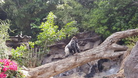 Silverback gorilla Royaltyfria Bilder
