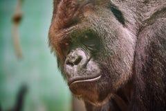 Silverback Gorilla Stockfotografie