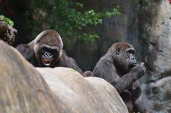 Silverback gorilla fotografering för bildbyråer