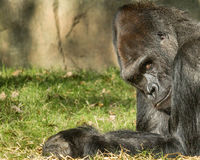 Silverback Gorilla. Adult male silverback gorilla Royalty Free Stock Photos