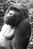 Silverback Gorilla. Adult Silverback Gorilla portrait in Volcanoes National Park, Rwanda, 2014 Royalty Free Stock Photography