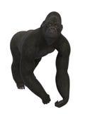 Silverback Gorilla, ape isolated on white Stock Photography