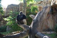 Silverback gorilla - backlit Royalty Free Stock Photo