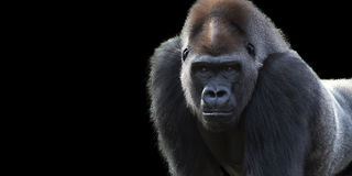 Silverback Gorilla banner. Closeup portrait of a gorilla  on a black background with room for text Stock Photo
