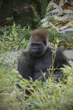 Silverback Gorilla In Bushes Image stock