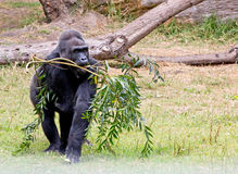 Silverback Gorilla Carrying Trees Stock Photos