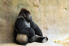 Silverback Gorilla in Charge Stock Photos