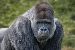 Silverback gorilla Royalty Free Stock Photography