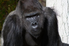 Silverback Gorilla 2. Close up photo of a Silverback Gorilla Stock Photo