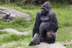 Silverback-Gorilla, der auf einem Felsen sitzt Lizenzfreie Stockfotos