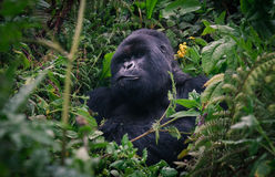Silverback Gorilla des Ruanda-Regenwaldes Stockfotos