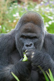 Silverback Gorilla eating. Large male Silverback Gorilla eating with food in hand Royalty Free Stock Photo