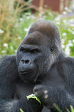 Silverback Gorilla eating Stock Image
