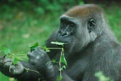 Silverback Gorilla Eating Green Leaves stock fotografie