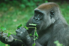 Silverback Gorilla Eating Green Leaves Stock Photography