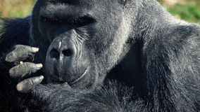 Silverback Gorilla Eating With His Hands stock footage