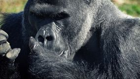 Silverback Gorilla Eating With His Hands metrajes