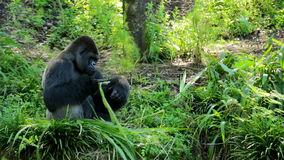 Silverback Gorilla Eating Leaves. On the edge of a cliff. light color correcting done to the footage