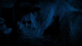 Silverback Gorilla Eating In Night Jungle almacen de metraje de vídeo