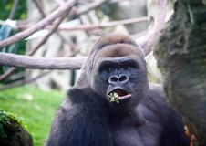 Silverback Gorilla Feeding on Vegetation. Are ground-dwelling, predominantly herbivorous apes that inhabit the forests of central Sub-Saharan Africa. The genus royalty free stock photo