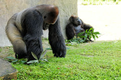 Silverback Gorilla & Female Stock Photography