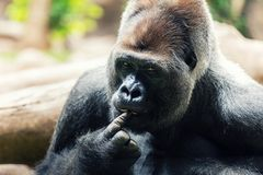 Silverback gorilla with finger in mouth Royalty Free Stock Photos