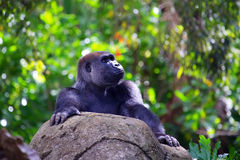 Silverback gorilla with forest Stock Photos