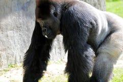 Silverback Gorilla-Gehen Lizenzfreies Stockbild