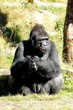 Silverback Gorilla. This gorilla lives in apenheul zoo park in apeldoorn the netherlands. He is Jambo and he has a harem of female gorillas. The apenheul zoo is stock images