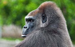 Silverback Gorilla. Gorillas are ground-dwelling, predominantly herbivorous apes that inhabit the forests of central Africa. Gorillas live in groups called Stock Photos