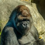 Silverback Gorilla has eaten a pepper. Male Silverback Gorilla portraitnGorilla enjoys the attention he gets Stock Photos