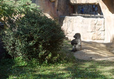Silverback gorilla ignores zoo watchers. The Omaha, Nebraska zoo features large ape habitats. This silverback gorilla had enough of humans and defiantly turned royalty free stock image