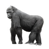 Silverback gorilla isolated on white royalty free stock photos
