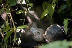 Silverback gorilla in the jungle bush Royalty Free Stock Photos