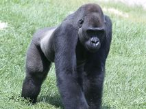 A Silverback Gorilla Knuckle-Walking royalty free stock image