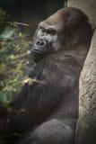 Silverback Gorilla Leaning sur l'arbre Photo libre de droits