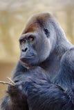 Silverback gorilla. Stock Image